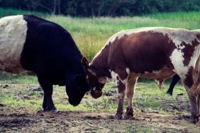 Fleet Pond grazing cows
